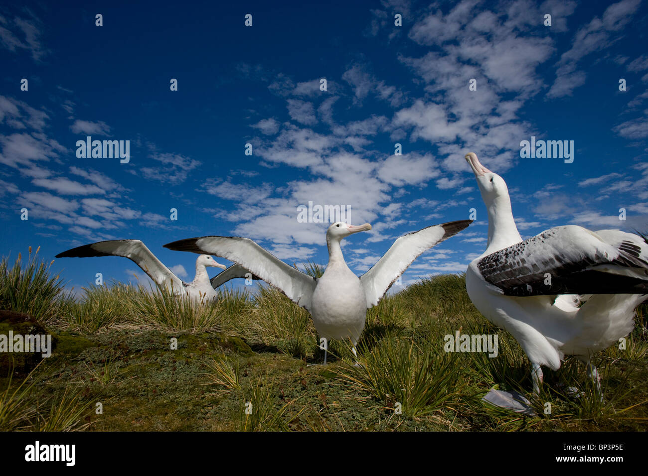 Antarctica, South Georgia Island , Courtship display of Wandering Albatross (Diomedea exulans) on Prion Island Stock Photo
