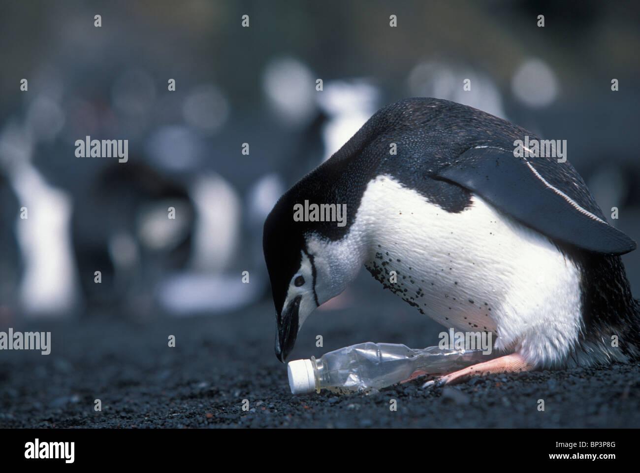Antarctica, Deception Island, Chinstrap penguin (Pygoscelis antarctica) tries incubate plastic bottle left beach - Stock Image