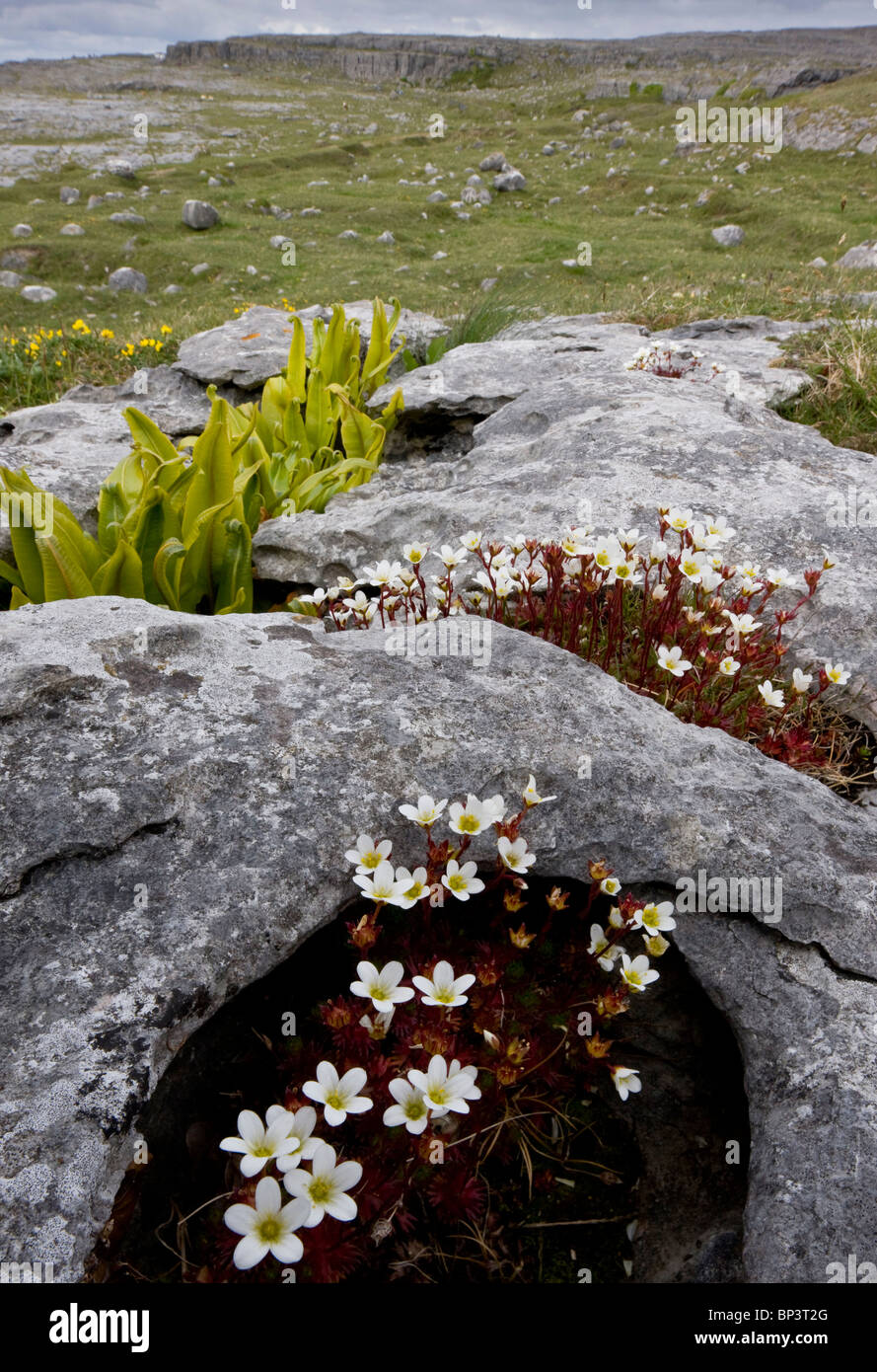 Irish Saxifrage, Saxifraga rosacea ssp. rosacea on limestone pavement, with Hart's Tongue Fern; The Burren, - Stock Image