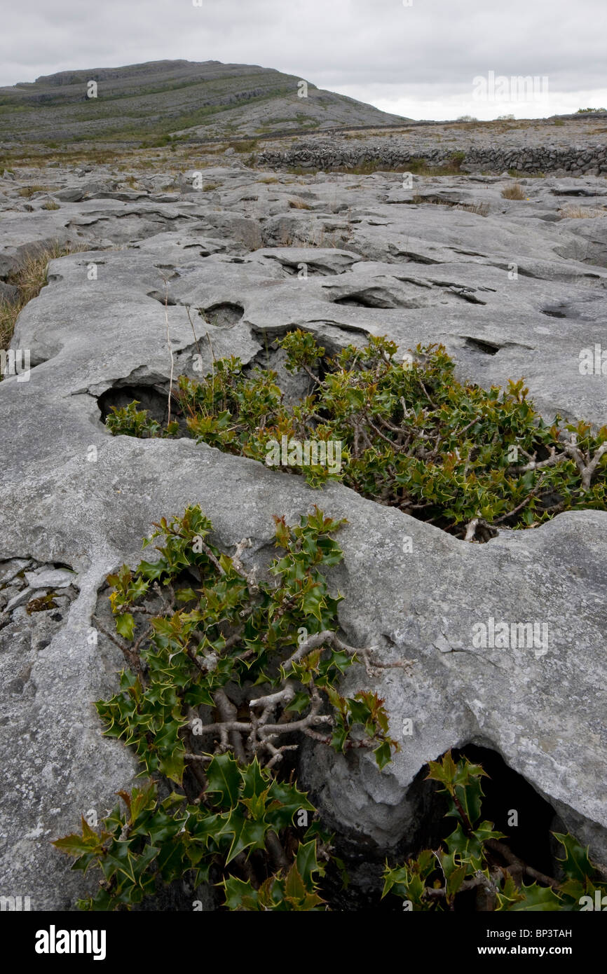 Ancient dwarf gnarled holly trees growing on limestone pavement at Mullagh Mor, the Burren, Eire - Stock Image