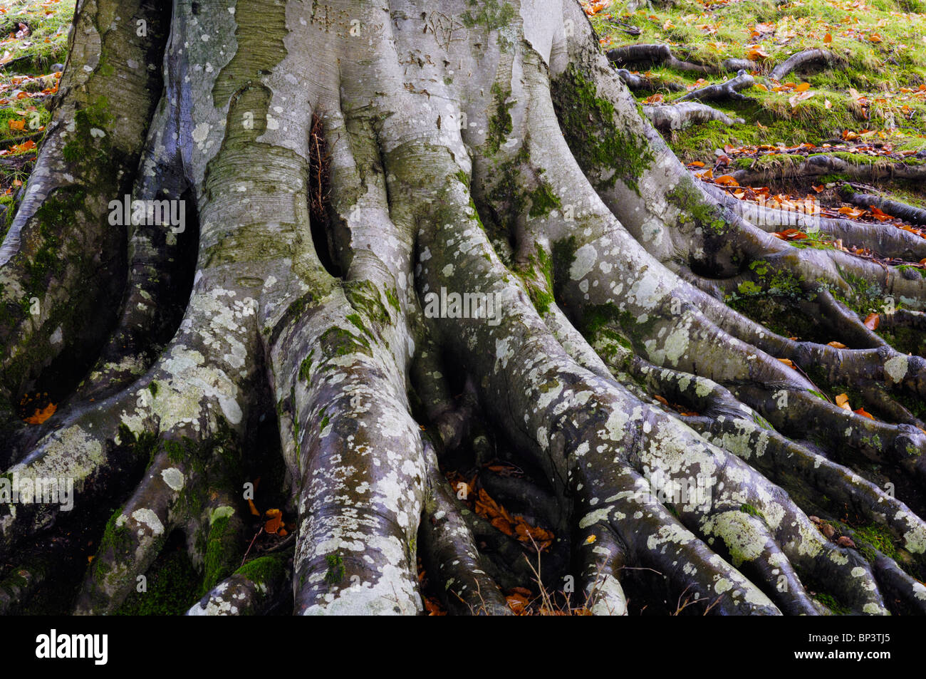 The roots of a beech tree in woodland at Grasmere in The Lake District National Park Cumbria, England. - Stock Image