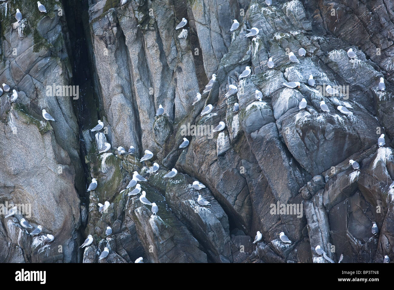 A colony of Kittiwakes nesting on the steep cliff Rundebranden at the island Runde on the west coast of Norway - Stock Image
