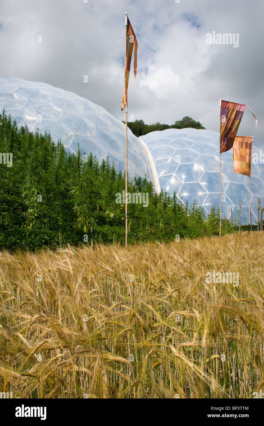 A field of barley with a hill of Echiums behind and the Tropical Biome in the background at The Eden Project. - Stock Image