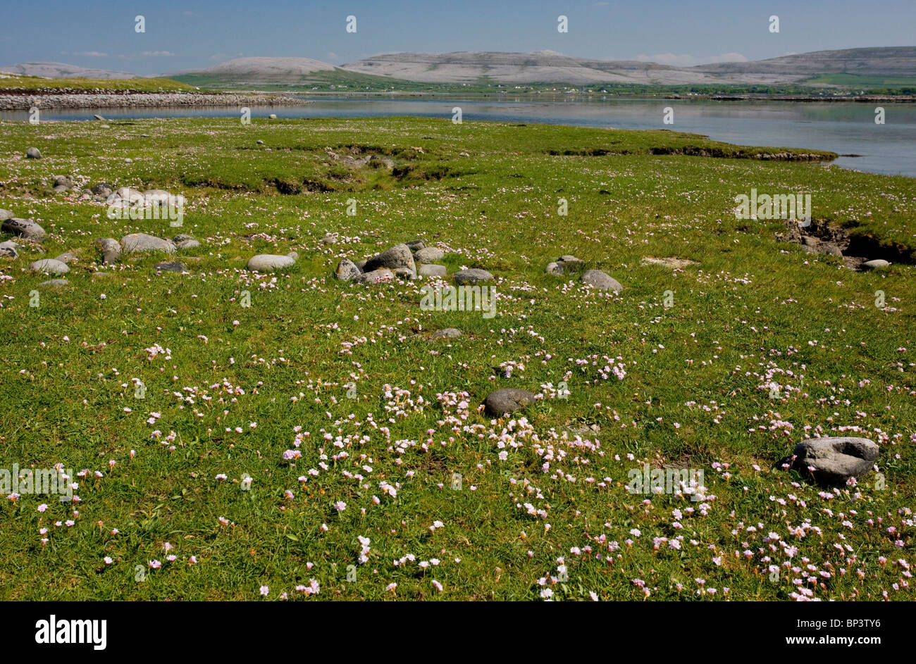 Thrift in coastal pasture/saltmarsh on the Rine sand and shingle spit, Galway Bay, the Burren, Eire - Stock Image
