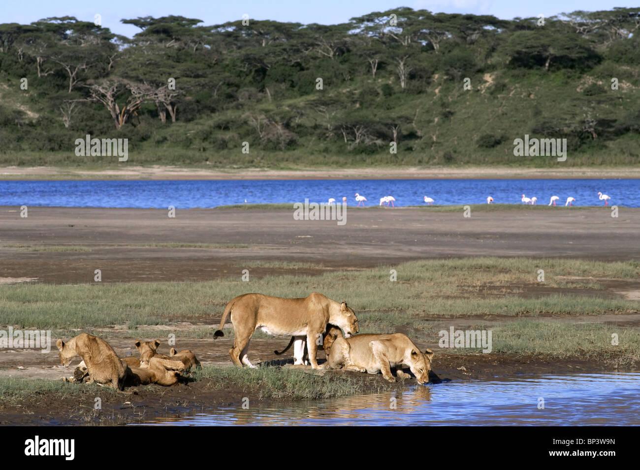 Lionesses with cubs drinking Panthera leo Lake Ndutu Ngorongoro Tanzania Stock Photo