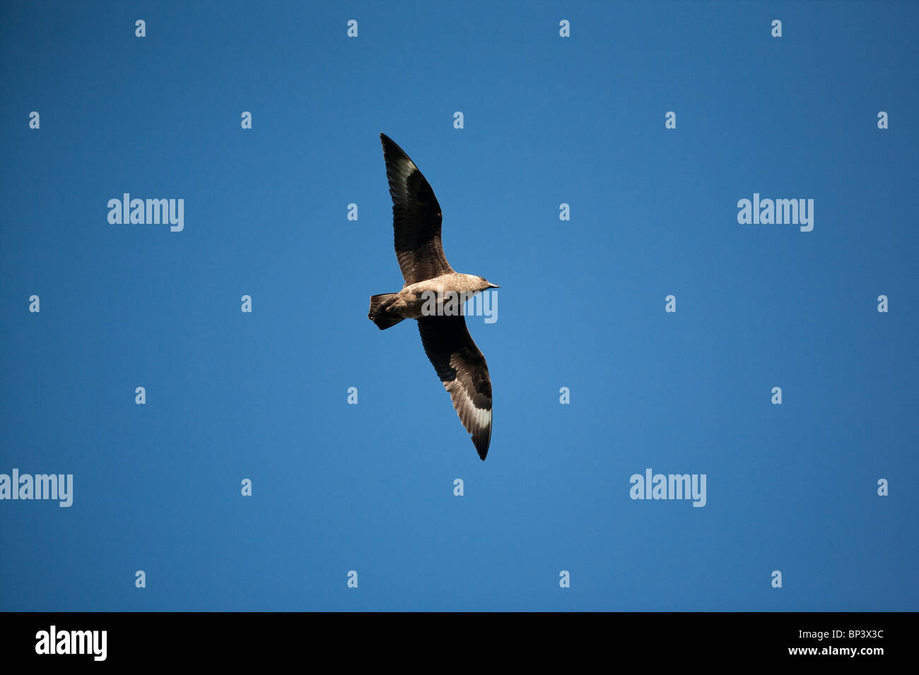 Great skua in flight above the bird sanctuary Runde island on the west coast of Norway. - Stock Image
