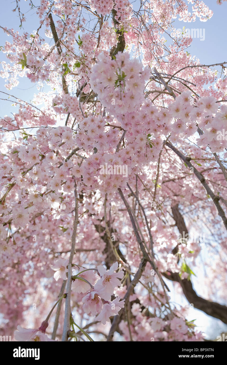 a photograph of a japanese cherry blossom tree from below against a blue sky in springtime - Stock Image