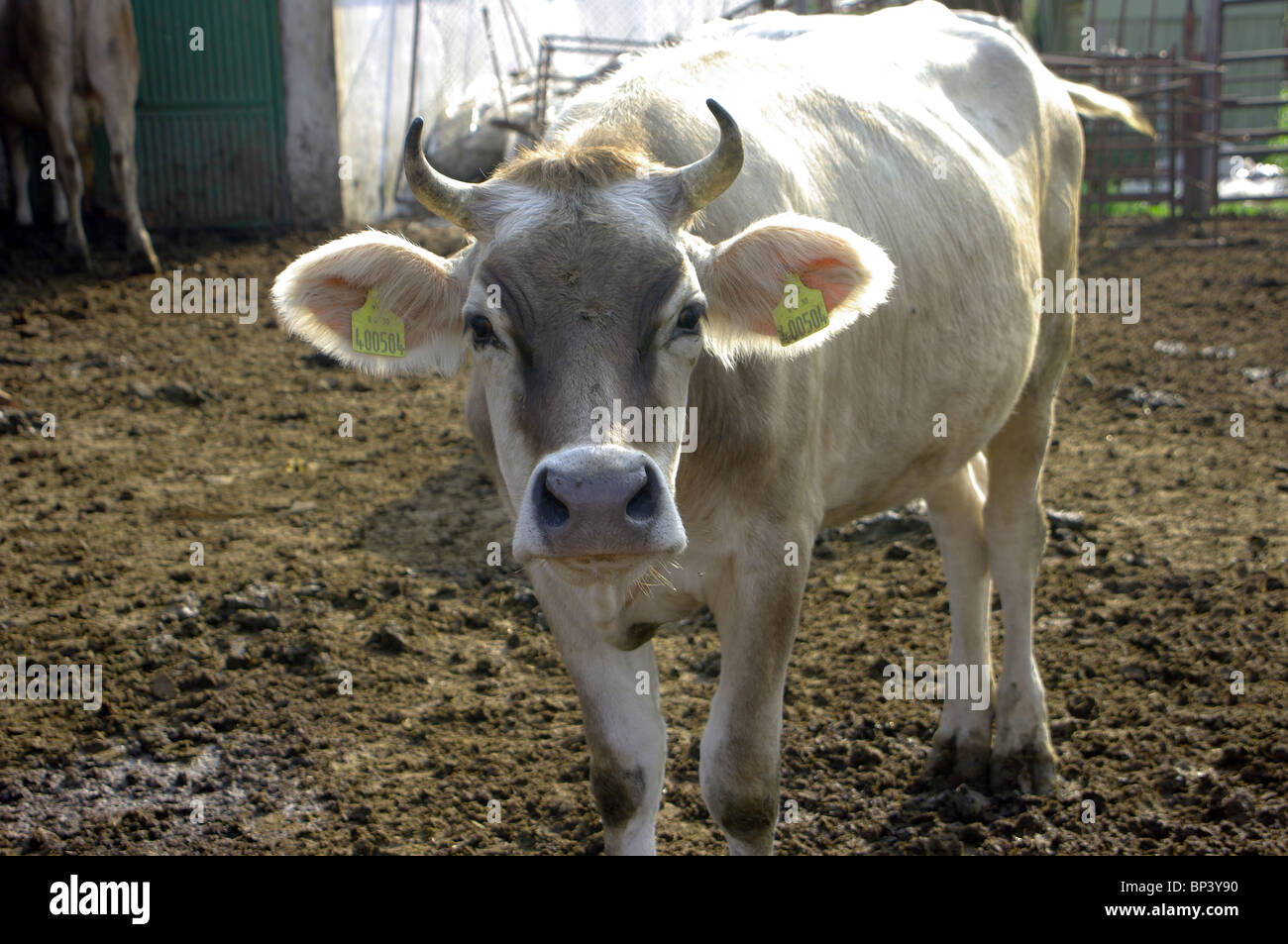 Young cow ecological farm in Bulgaria. - Stock Image