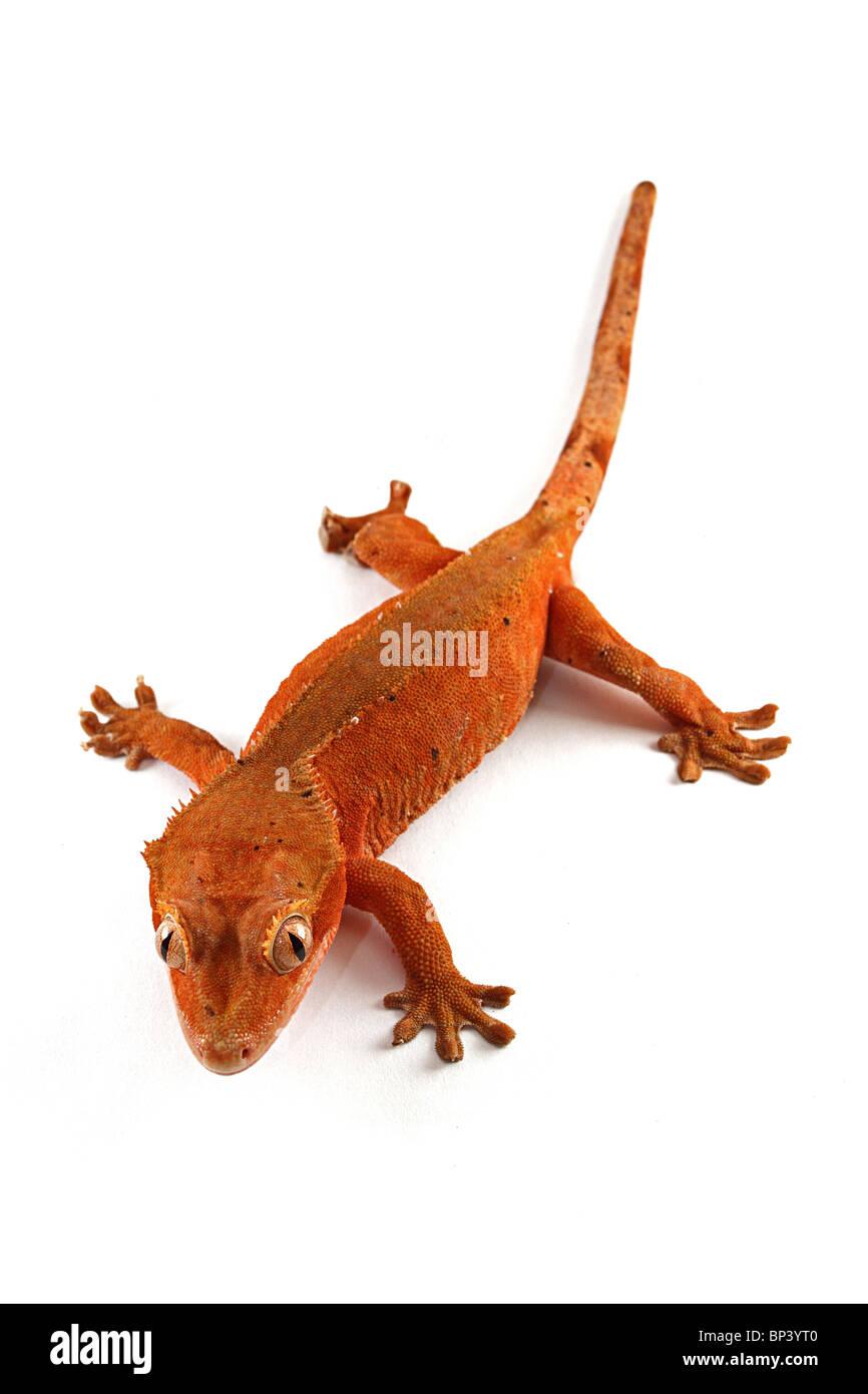 Female Crested Gecko, Rhacodactylus ciliatus on white background - Stock Image