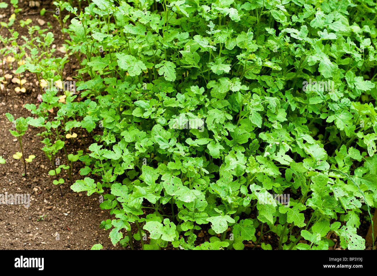 Mustard var. Zlata, sown as a green manure to improve soil fertility at Painswick Rococo Garden in the Cotswolds Stock Photo