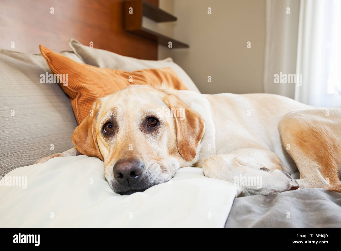 Yellow Labrador Retriever relaxing in bed in a pet friendly hotel. - Stock Image