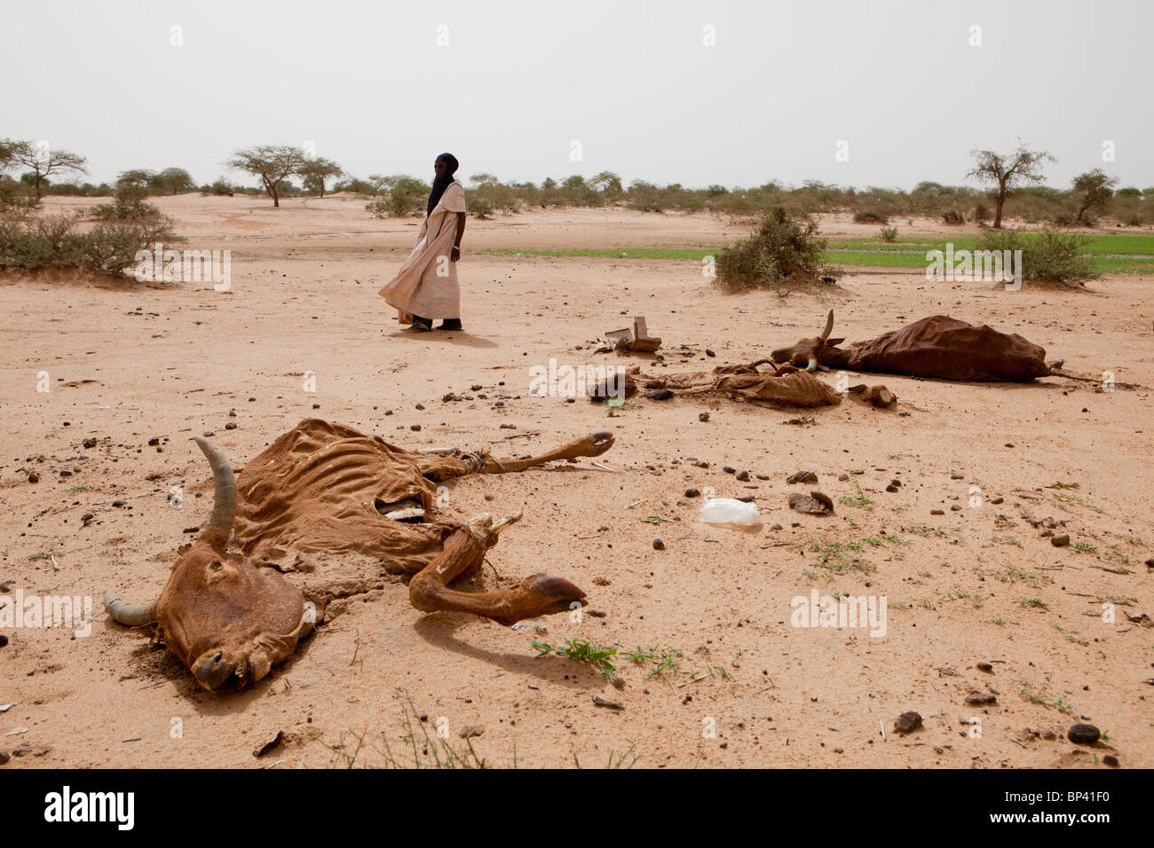 ABALA, NIGER, 30th July 2010: Tribal chief Bubacar Maman, 70, walks past local livestock  wiped out by drought. - Stock Image