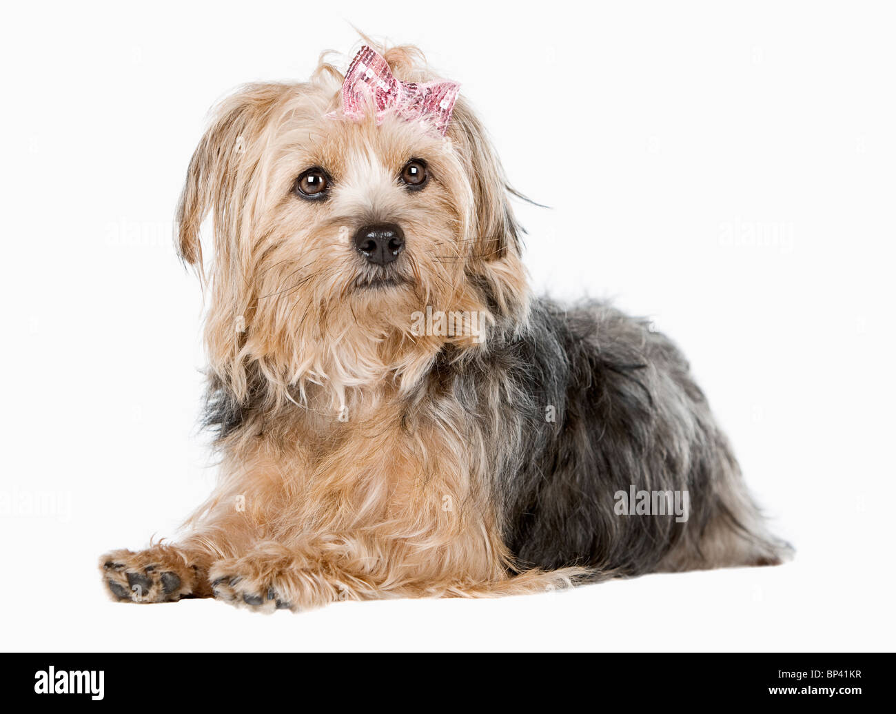 Studio Shot of a Cute Yorkshire Terrier against Light Background - Stock Image