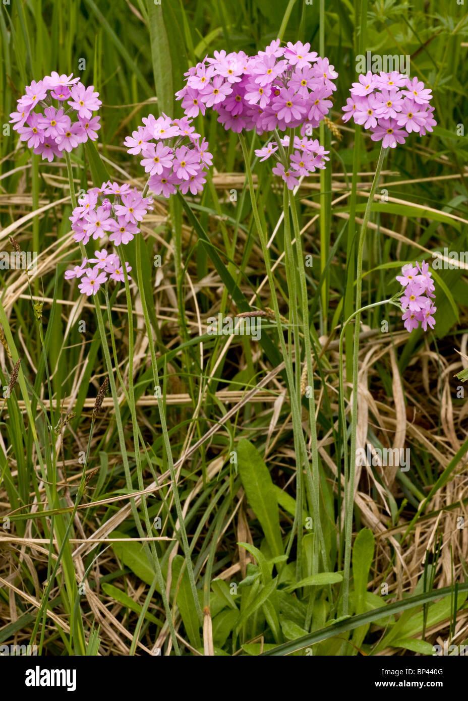 Bird's Eye Primrose, Primula farinosa in flower, Estonia Stock Photo