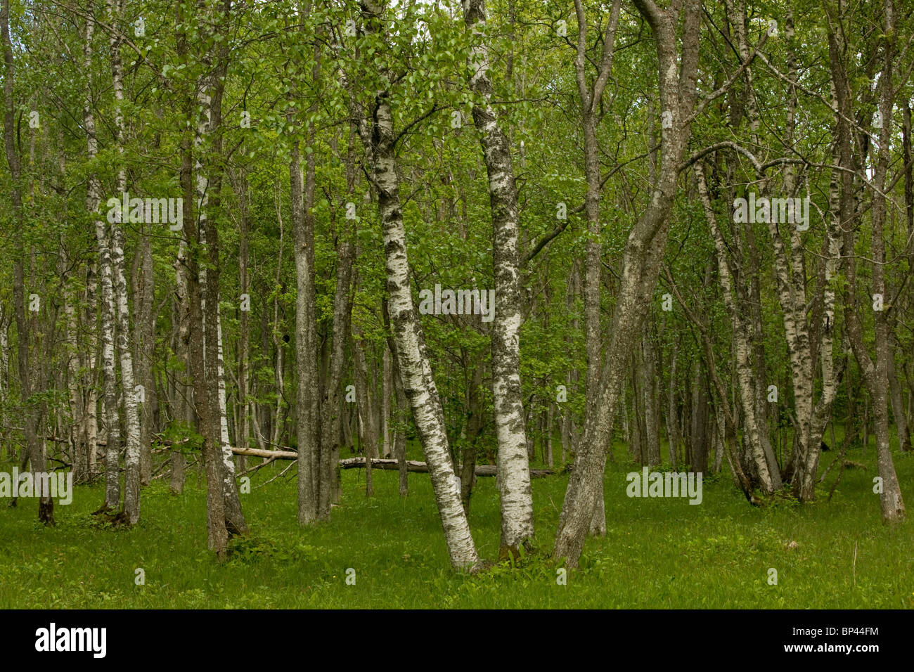 Downy Birch trunks in Laelatu Wooded Meadow, Puhtu-Laelatu Reserve; West coast of Estonia - Stock Image