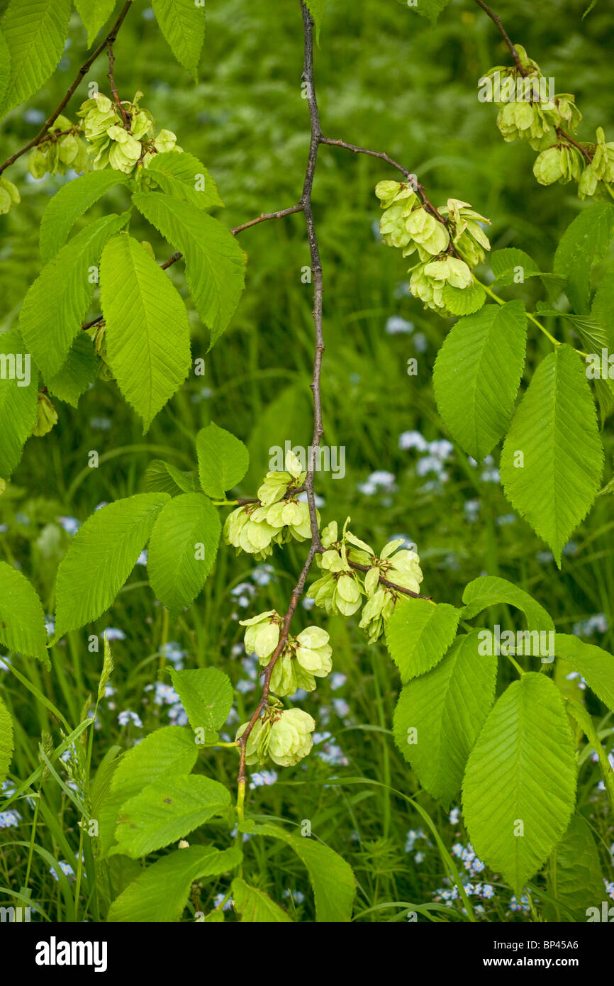 Wych Elm, Ulmus glabra, in fruit; Estonia - Stock Image