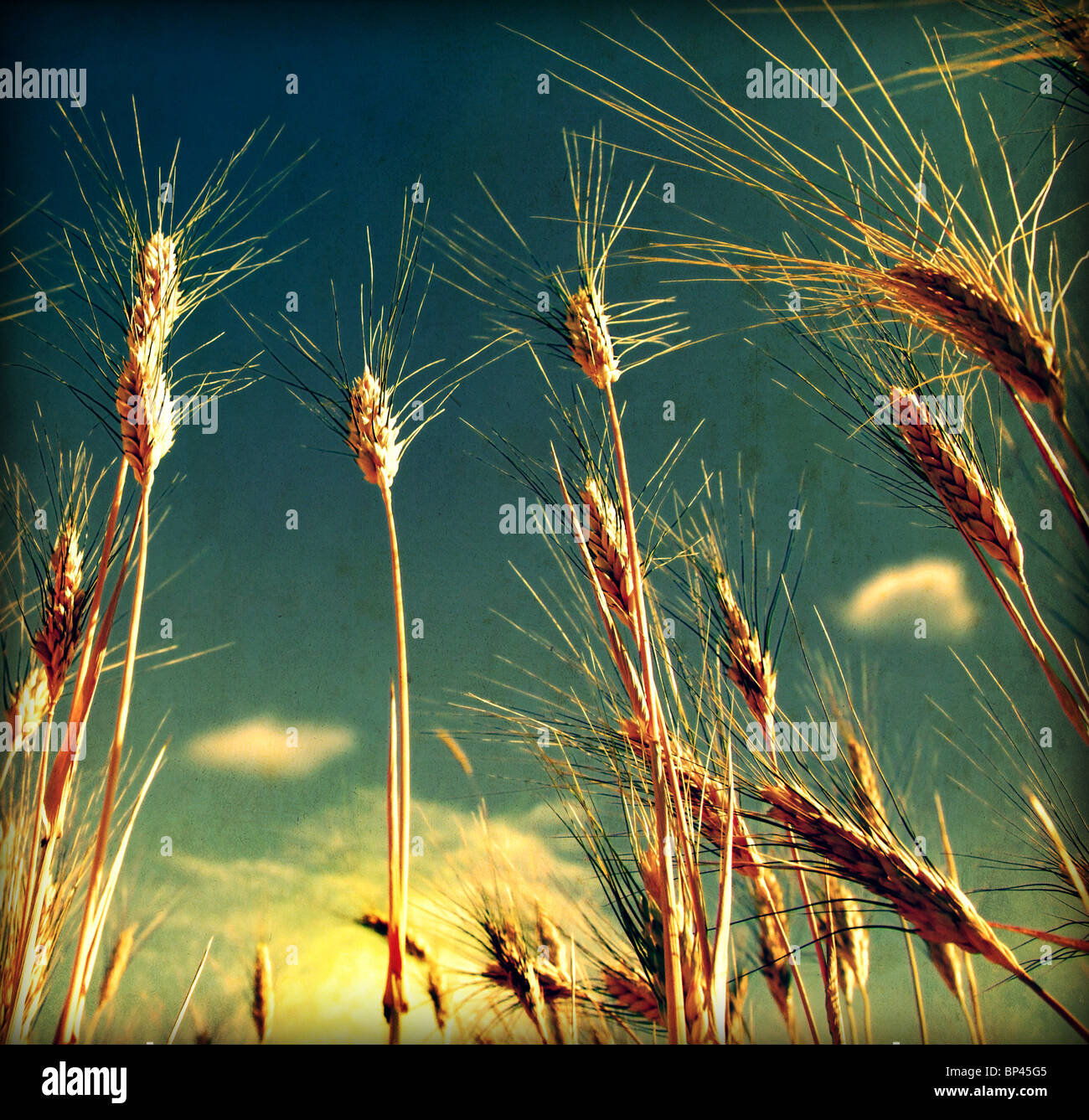 Grunge Wheat field background with dirty old texture - Stock Image