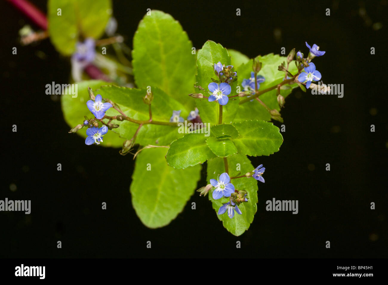 Brooklime, Veronica beccabunga, in flower; by pond Stock Photo