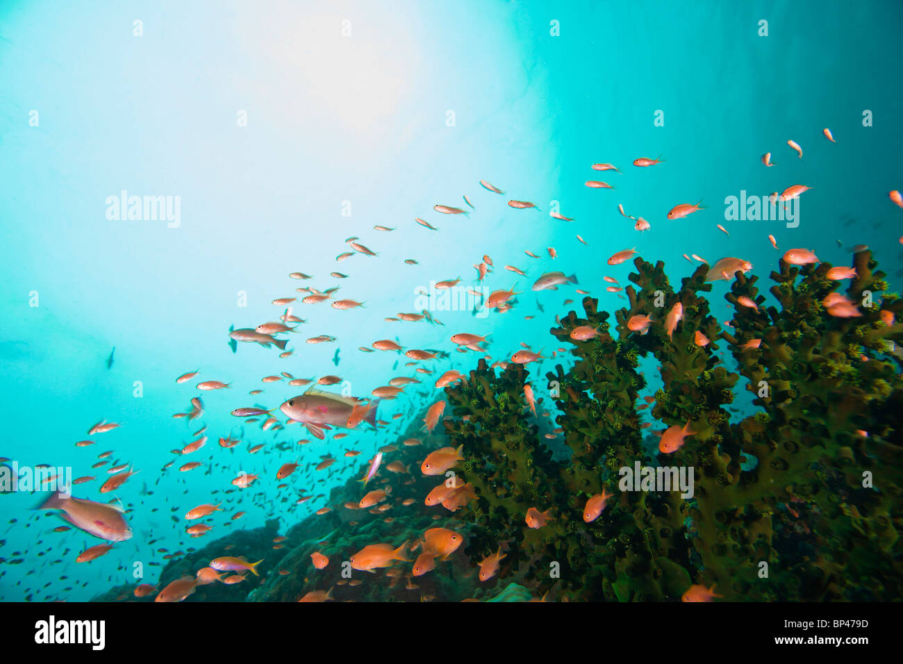 Anthias fish (Pseudanthias squamipinnis) Underwater Sea Life at Verde Island near Puerto Gallera, Philippines, SE - Stock Image