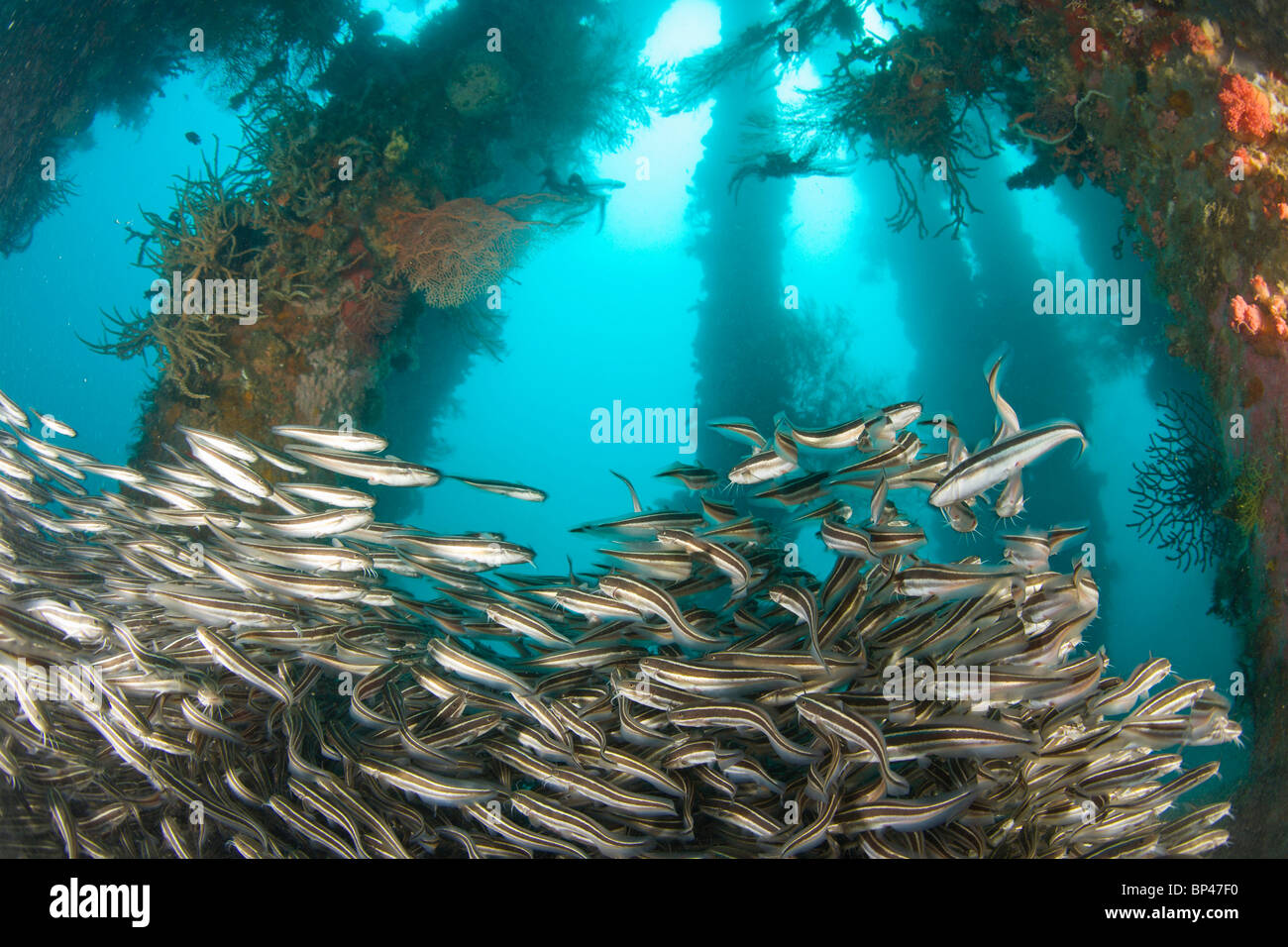 Striped Catfish (Plotosus lineatus) schooling at Dumaguete Pier, , capital of Negro Oriental Island, Philippines, - Stock Image