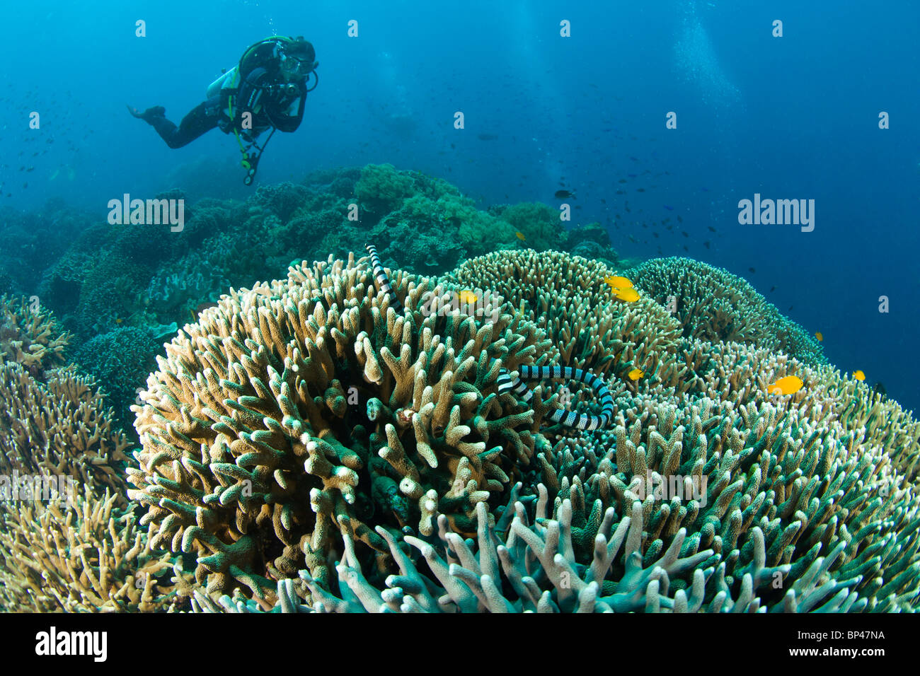 Scuba Diver & Sea Snake  at Apo Island, 10km from Dumaguete, capital of Negro Oriental Island, Philippines, - Stock Image