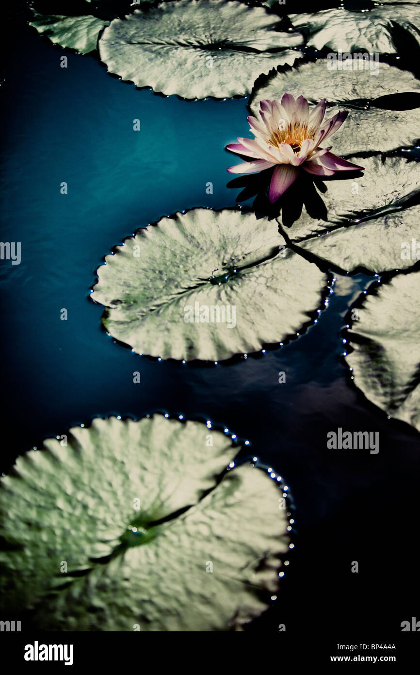 Waterlilies, hardy waterlilies, lotuses, and giant water-platters grow in several large lily ponds at Longwood Gardens Stock Photo