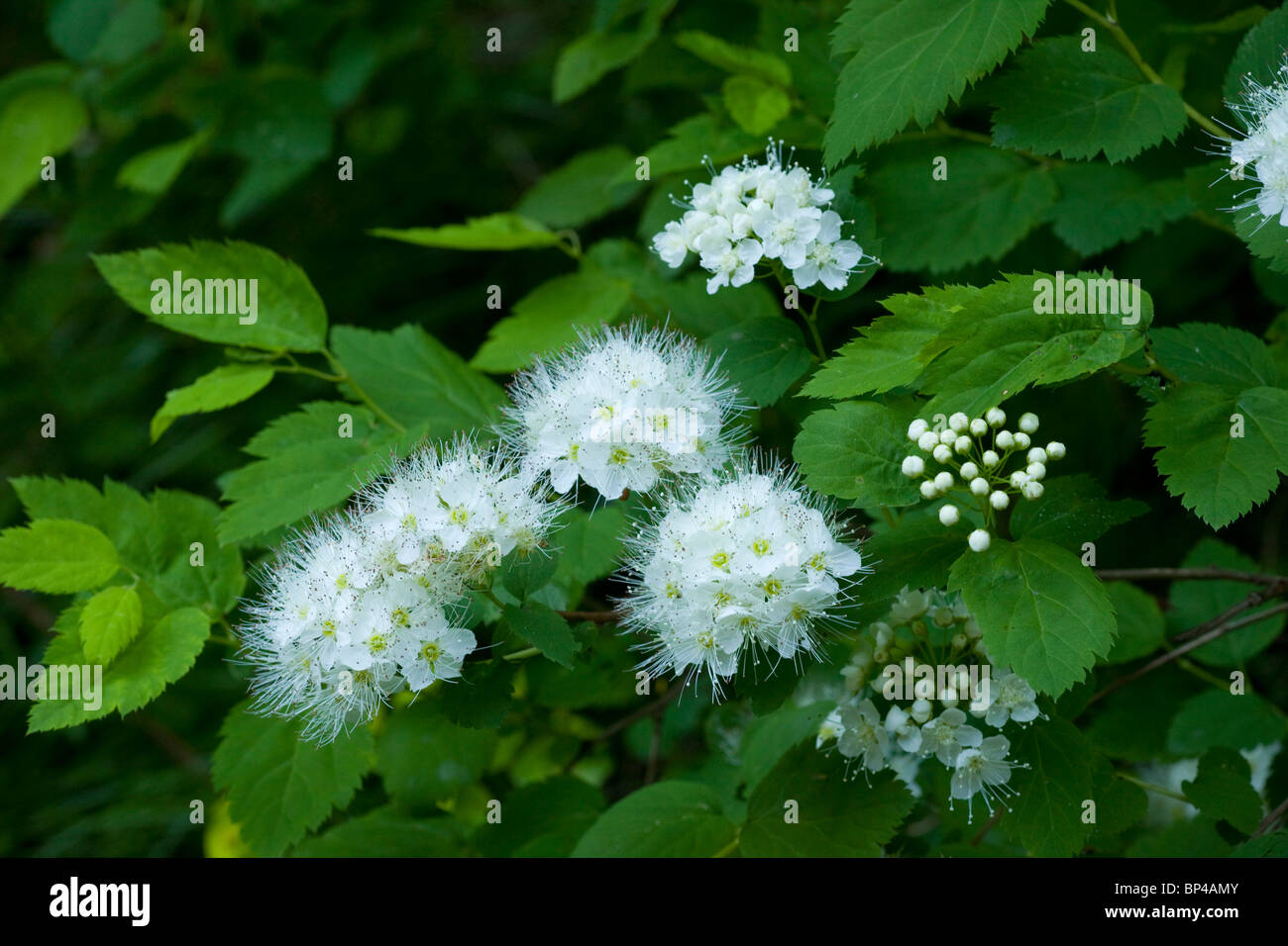 Elm-leaved Spiraea, Spiraea chamaedryfolia ssp. ulmifolia = Spiraea ulmifolia in flower, Romania. Stock Photo