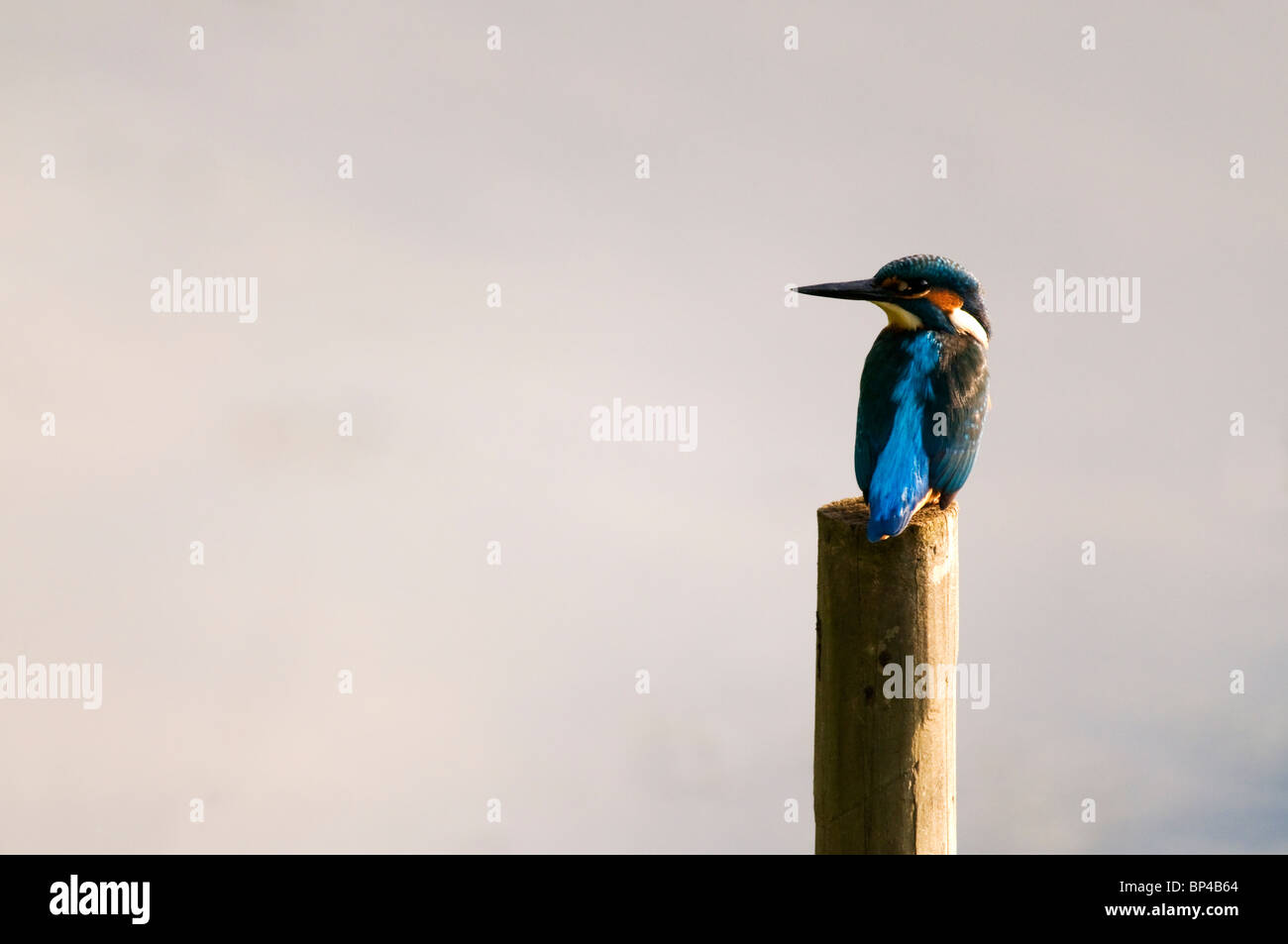 Common Kingfisher (Alcedo Atthis) - Stock Image