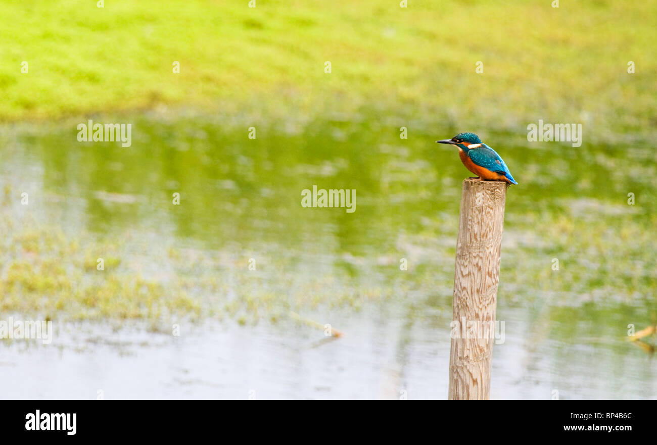 Common Kingfisher perched on wooden post. - Stock Image