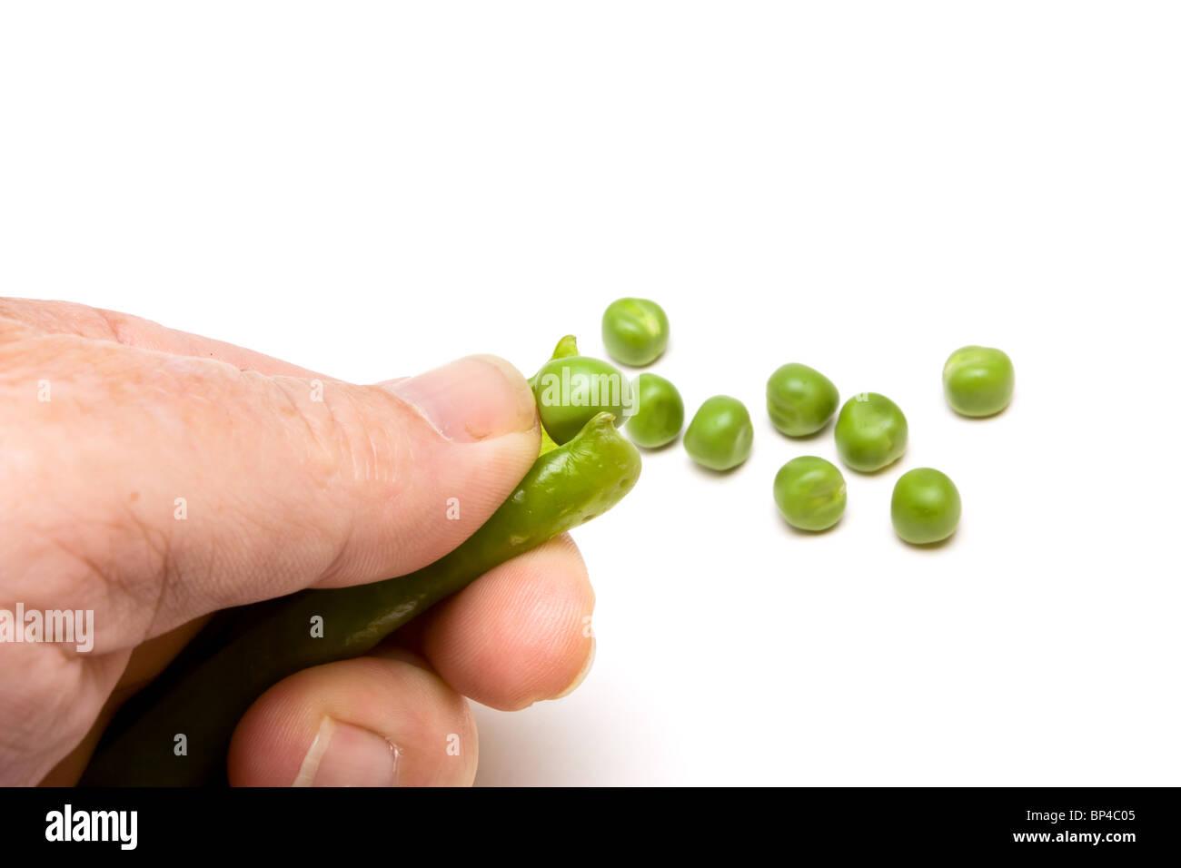 Shelling Fresh Garden Pea Pods isolated against white background. - Stock Image