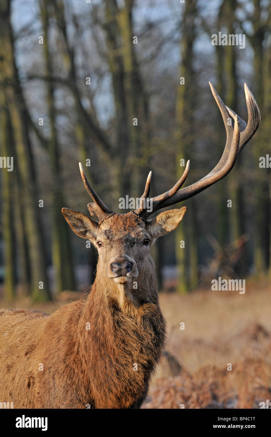 Red Deer: Cervus elaphus  Stag with one antler shed