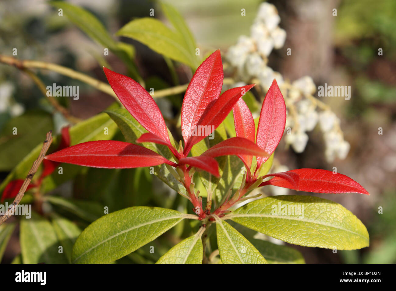Bright red new leaves and white flowers of the evergreen pieris bright red new leaves and white flowers of the evergreen pieris shrub epsom surrey england uk mightylinksfo