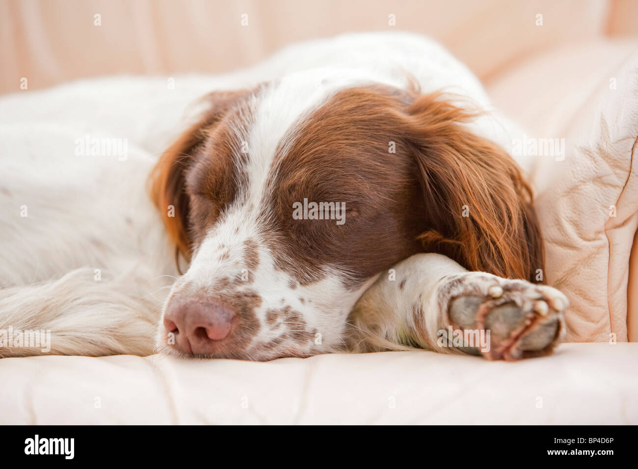 A liver and white English Springer Spaniel working gun dog sleeping on a leather sofa inside a house - Stock Image