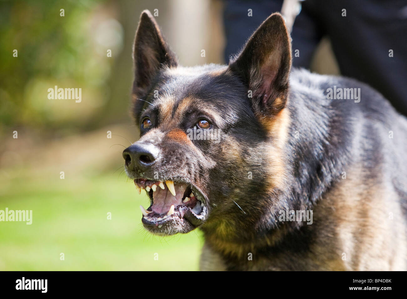 A former prison service German Shepherd working dog showing aggressive behaviour - Stock Image