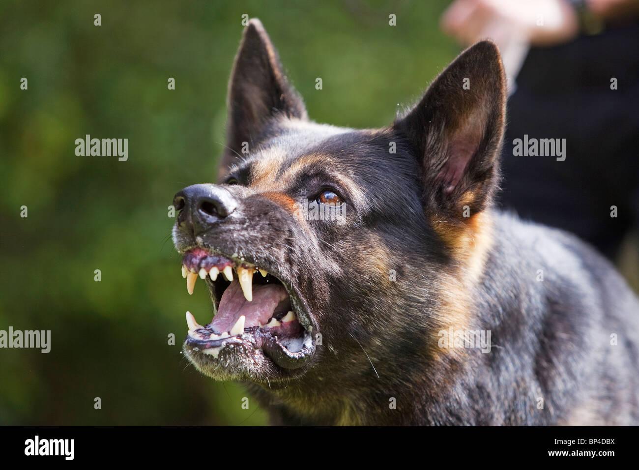A former prison service German Shepherd working dog showing aggressive behaviour Stock Photo
