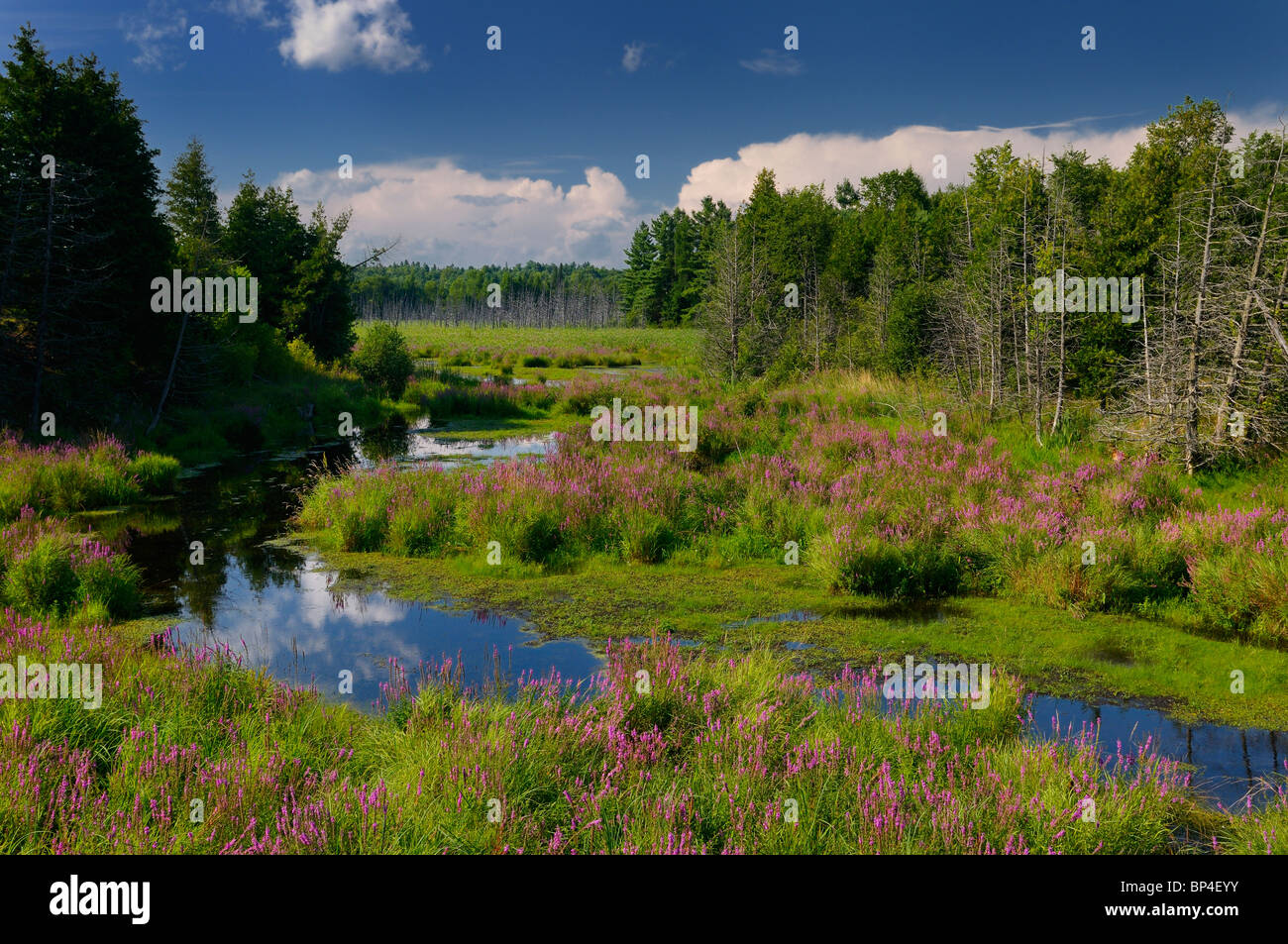 Purple loosestrife along marsh creek in the wild country near Brooke Ontario Canada - Stock Image