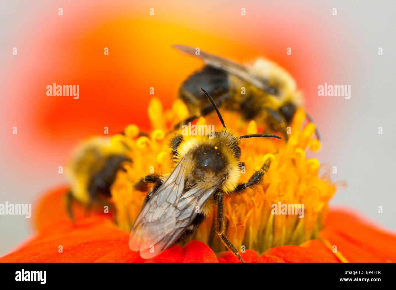 Three Bees on Mexican Sunflower - Stock Image