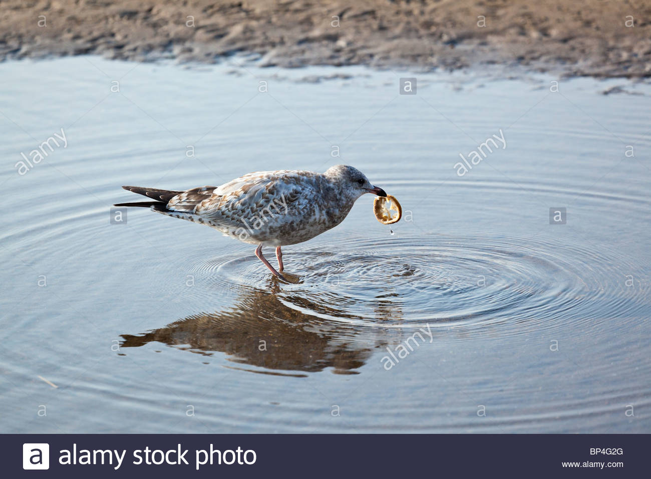 Gull trying to eat a condom in Rouge Park an urban wilderness in Toronto Ontario Canada. - Stock Image