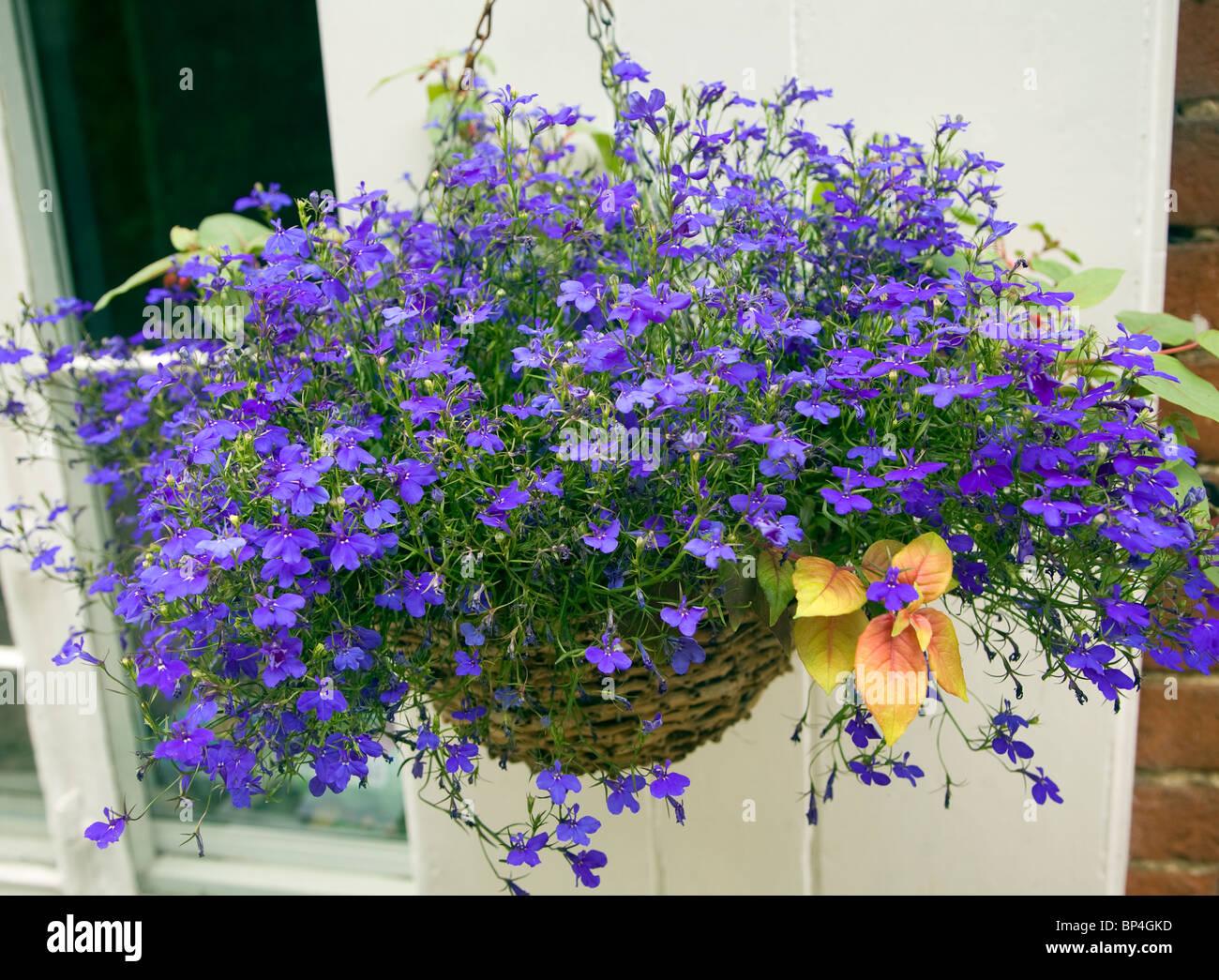Hanging Basket Blue Lobelia Flowering Plant Stock Photo 30833697