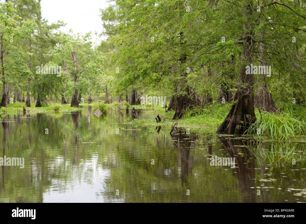 A wetland in the Lake Martin area of Louisiana, located on the western edge of the Atchafalaya swamp. - Stock Image