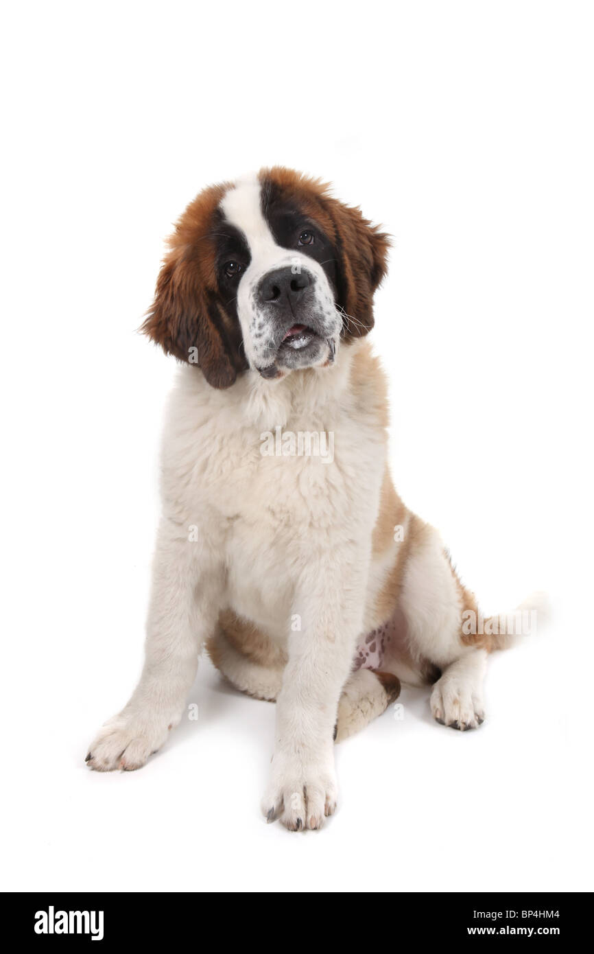 Curious Saint Bernard Puppy Sitting Down With Head Tilted in Studio Shot - Stock Image
