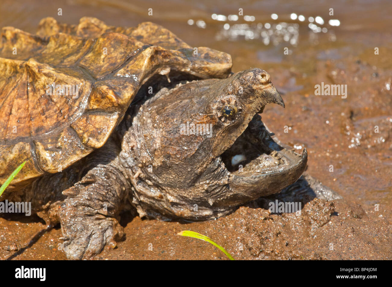 Alligator snapping turtle, Macrochemys temminckii, native to southern US waters Stock Photo