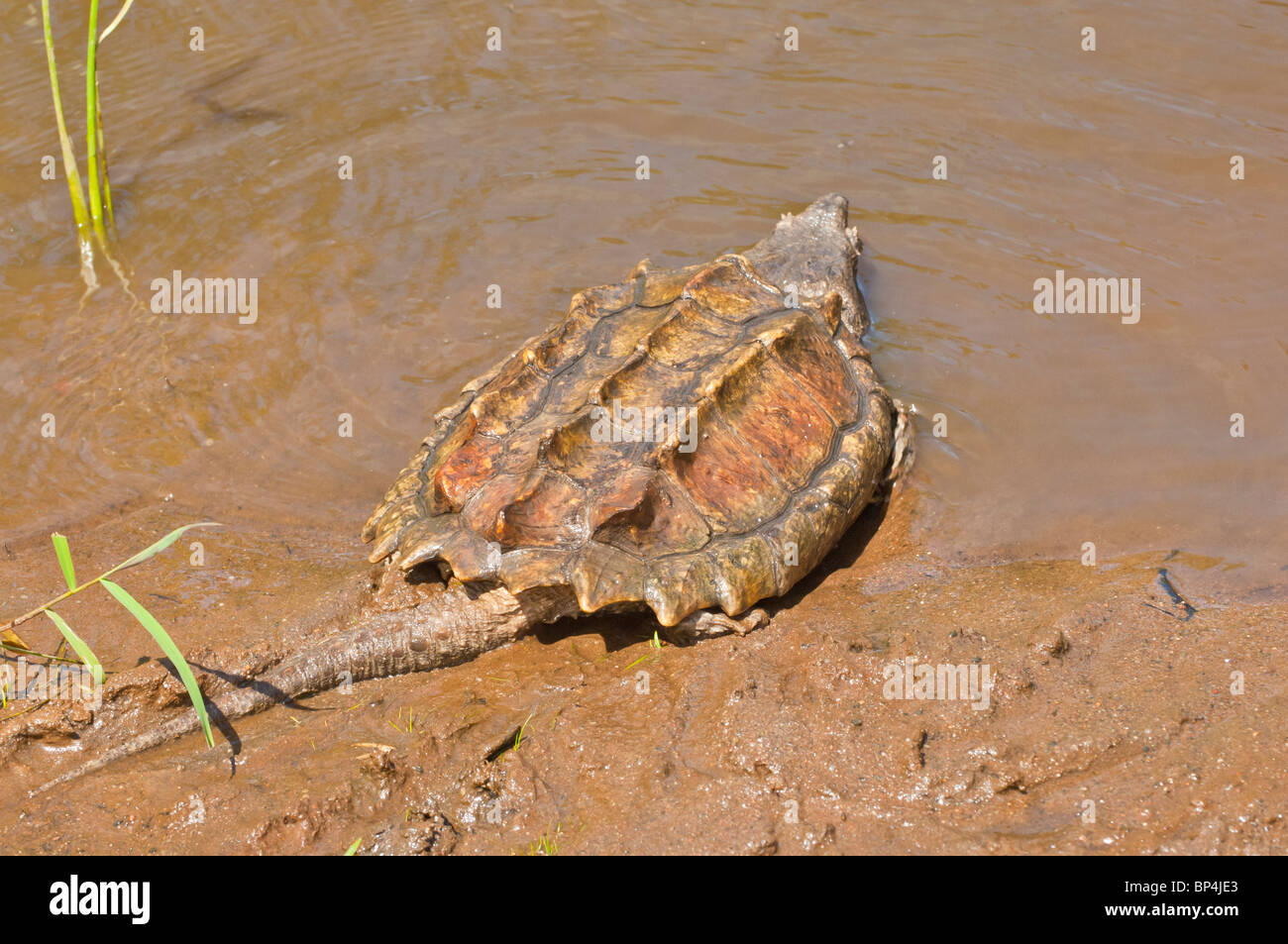 Alligator Snapping Turtle Stock Photos & Alligator Snapping