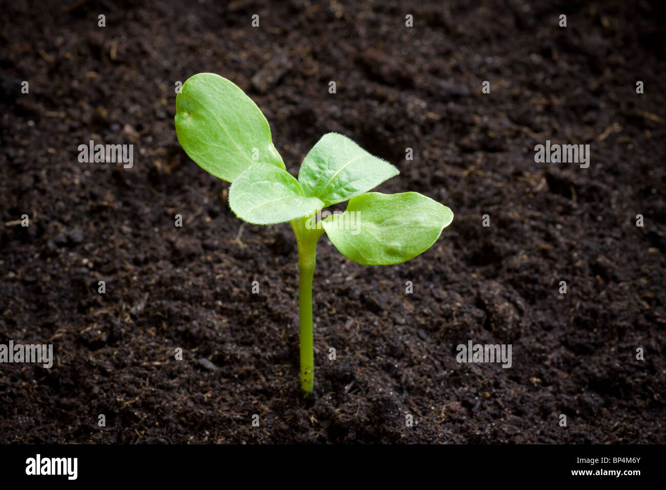 Seedling emerging from soil. Shallow depth of field with space for copy. - Stock Image