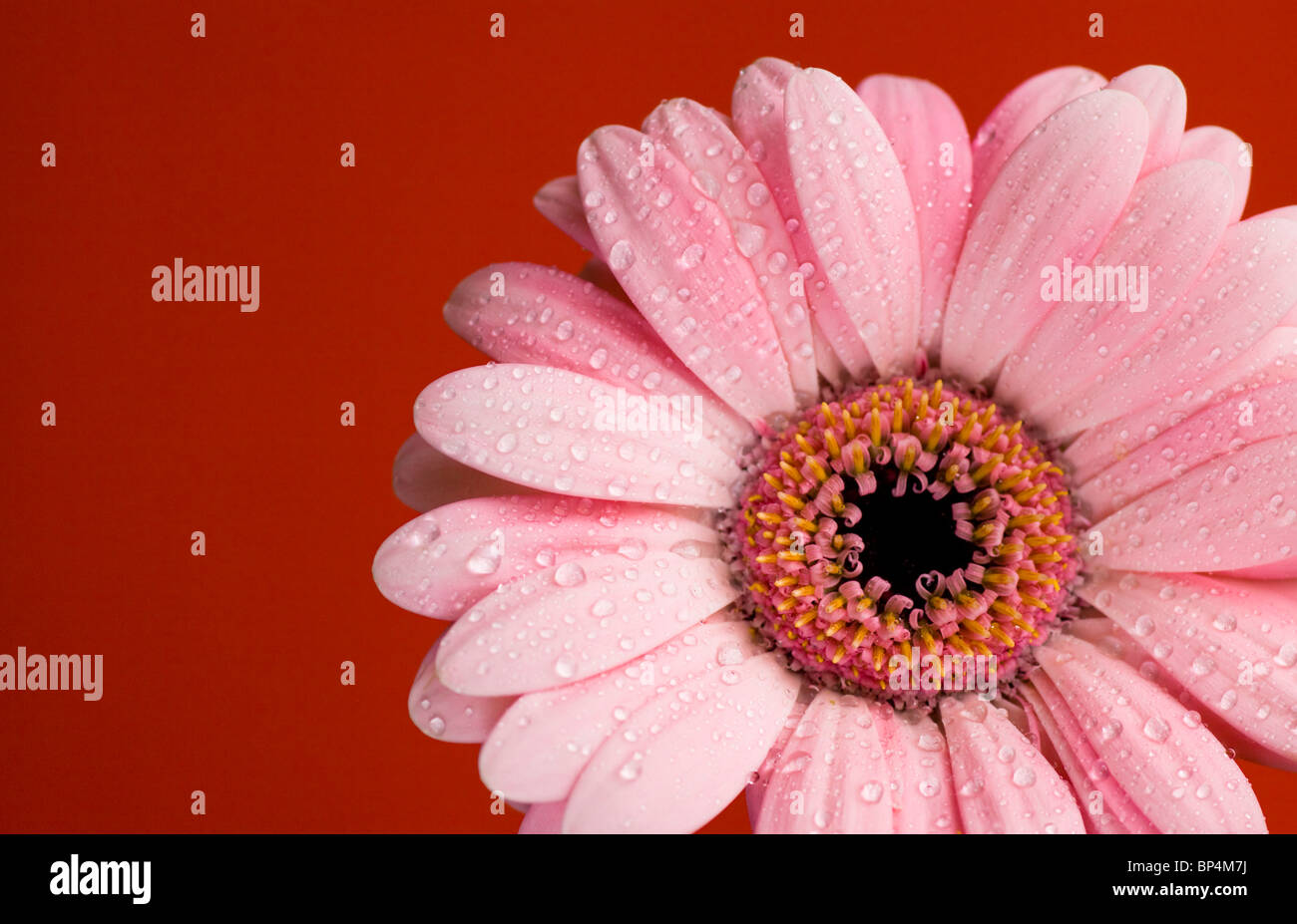 Red daisy macro with water droplets on the petals Stock Photo
