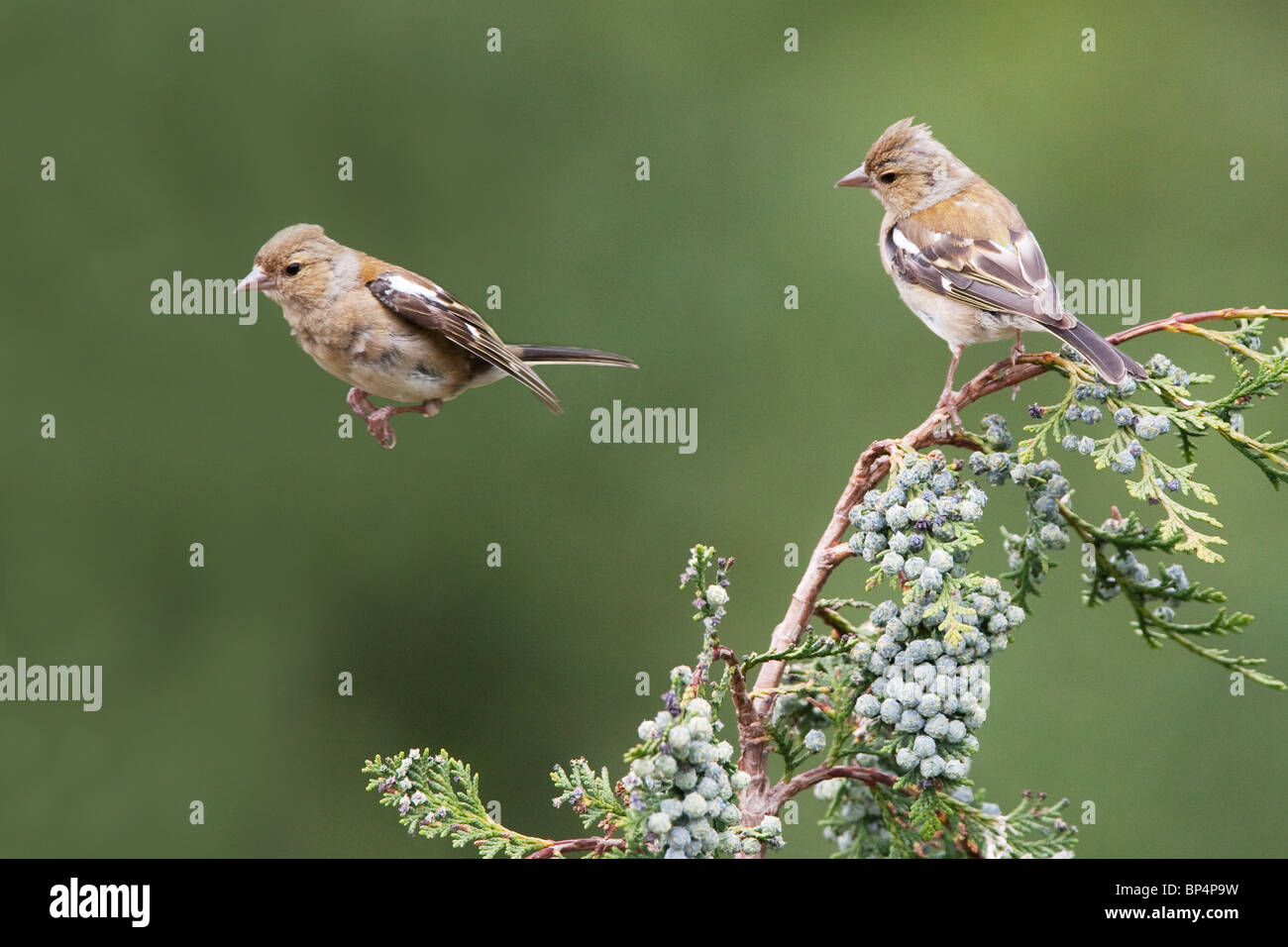 Two Chaffinches (Fringilla Coelebs) in West Sussex. Jack Moon Photography - Stock Image