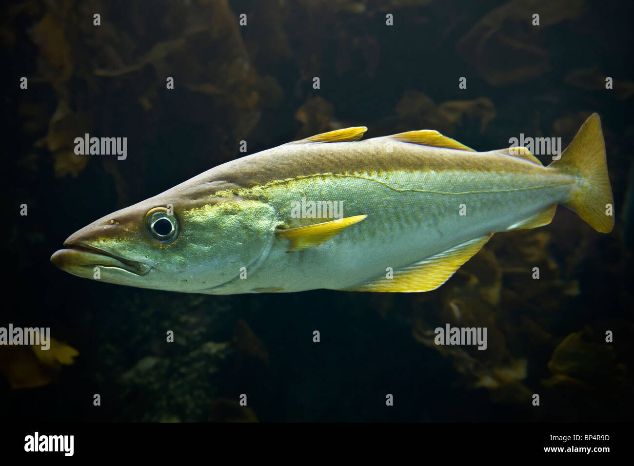 The photograph of a Pollack (Pollachius pollachius) in the Iroise Sea (France). Portrait d'un lieu jaune en - Stock Image