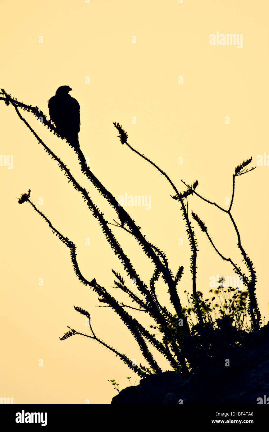Red-tailed hawk perched in Ocotillo - vertical silhouette - Stock Image