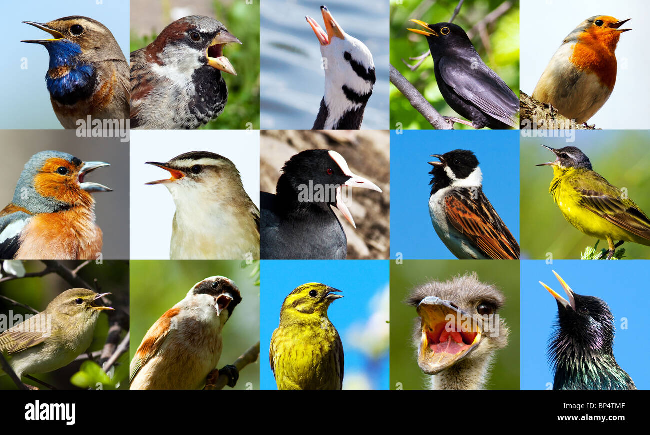 Collection of portraits of singing birds close up. - Stock Image