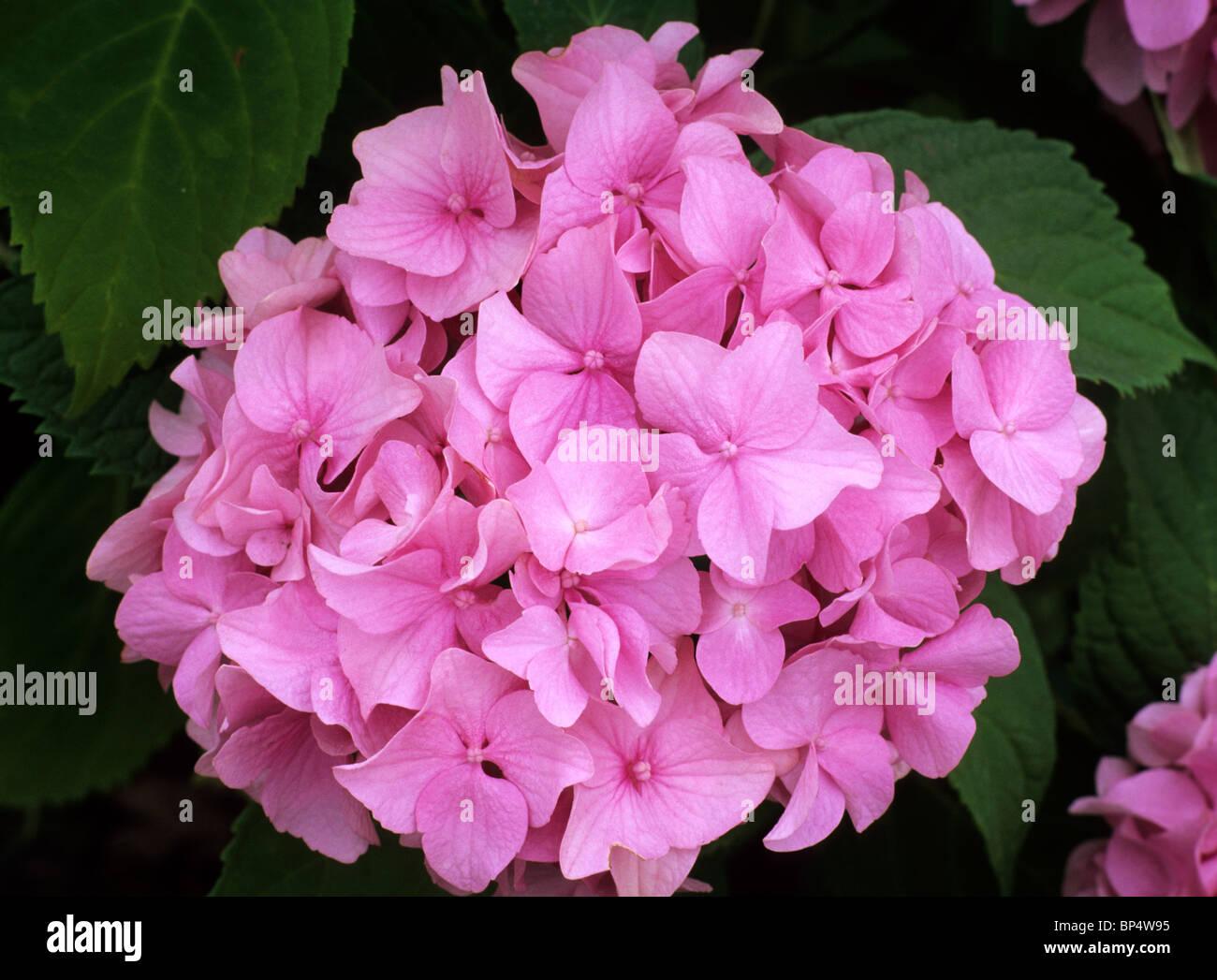 Hydrangea Macrophylla Bouquet Rose Pink Flower Flowers Garden